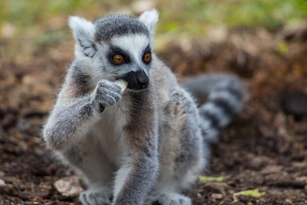 Śliczny Lemur Katta Zjada Jedzenie Darmowe Zdjęcia