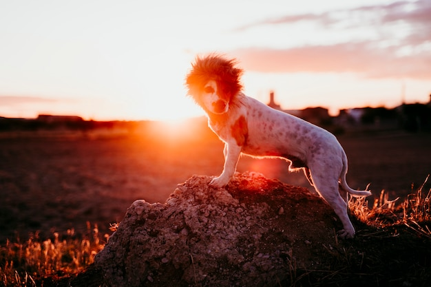 Śliczny mały jack russell terrier pies na skale przy zmierzchem. na głowie ma zabawny kostium króla lwa. zwierzęta na zewnątrz i humor Premium Zdjęcia