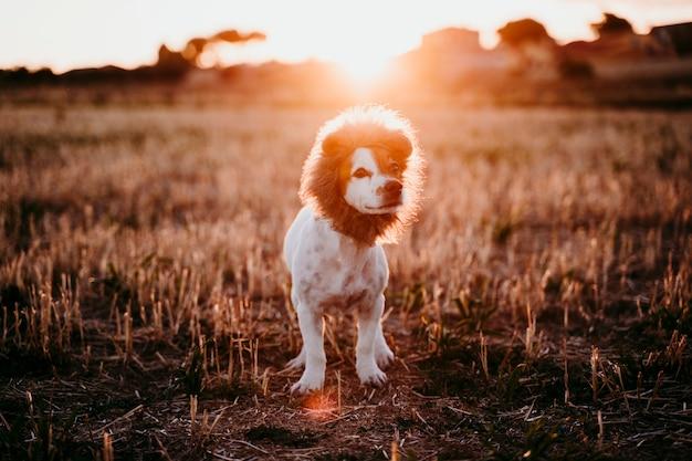 Śliczny mały jack russell terrier pies w żółtym polu przy zmierzchem. na głowie ma zabawny kostium króla lwa. zwierzęta na zewnątrz i humor Premium Zdjęcia