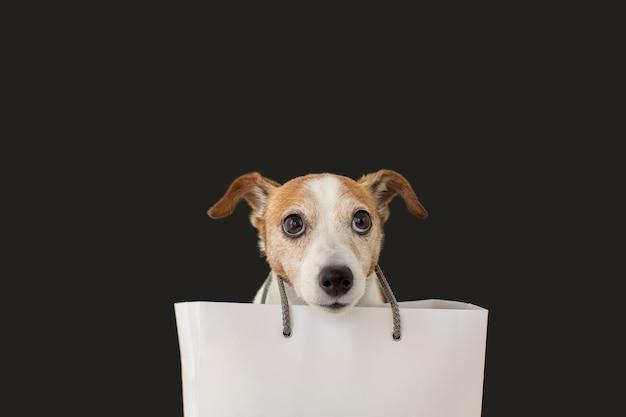 Śliczny Pies Jack Russell Terrier Siedzący Z Białą Papierową Torbą I Patrząc Na Czarno. Premium Zdjęcia