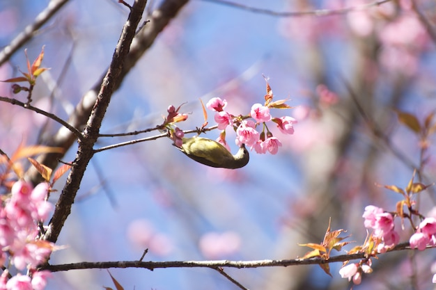 Śliczny Ptasi Halny Bulbul I Sakura Menchie Kwitniemy, Ptak Na Sakura Drzewie W Ang Khang Narodu Parku, Chiang Mai, Tajlandia Premium Zdjęcia