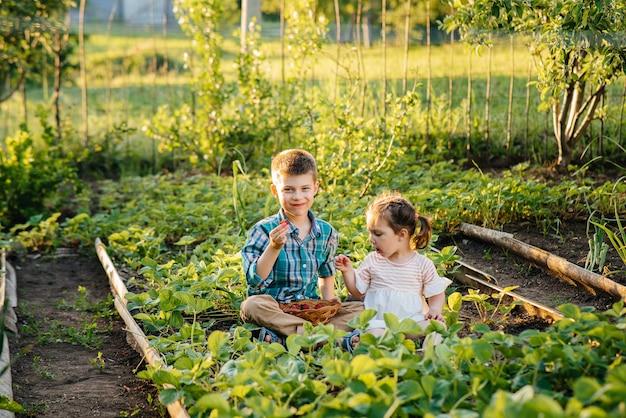 Słodki I Szczęśliwy Młodszy Brat I Siostra W Wieku Przedszkolnym Zbierają I Jedzą Dojrzałe Truskawki W Ogrodzie W Słoneczny Letni Dzień. Premium Zdjęcia
