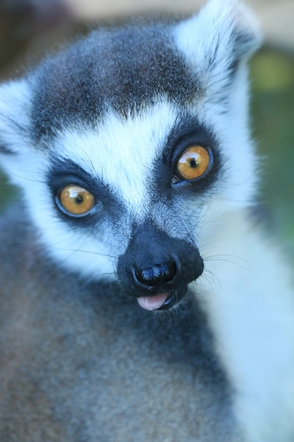 Słodki Lemur Darmowe Zdjęcia