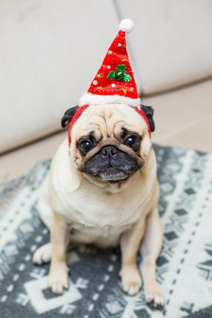 Słodkie Boże Narodzenie Mops Szczeniak Na Sobie Czerwony Kapelusz Santa Darmowe Zdjęcia