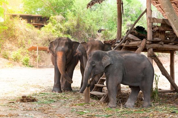 Słoń Azjatycki W Chronionym Parku Przyrody W Pobliżu Chiang Mai W Północnej Tajlandii Premium Zdjęcia