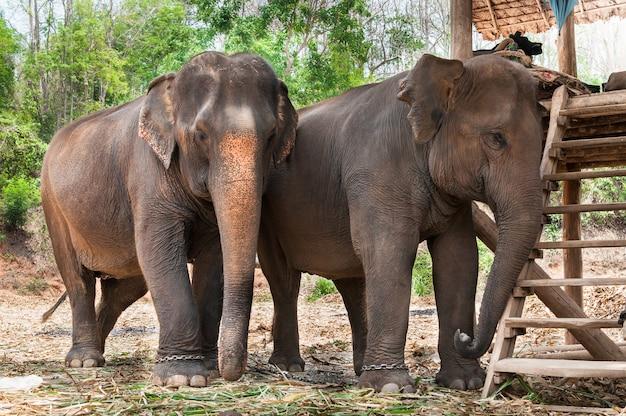 Słoń Azjatycki W Tajlandii Premium Zdjęcia