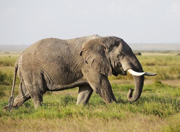 Słoń Chodzący Po Zielonym Polu W Parku Narodowym Amboseli W Kenii Darmowe Zdjęcia