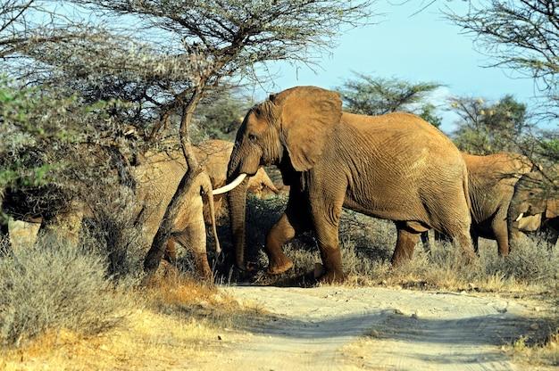 Słoń Na Sawannie W Ich Naturalnym środowisku Premium Zdjęcia