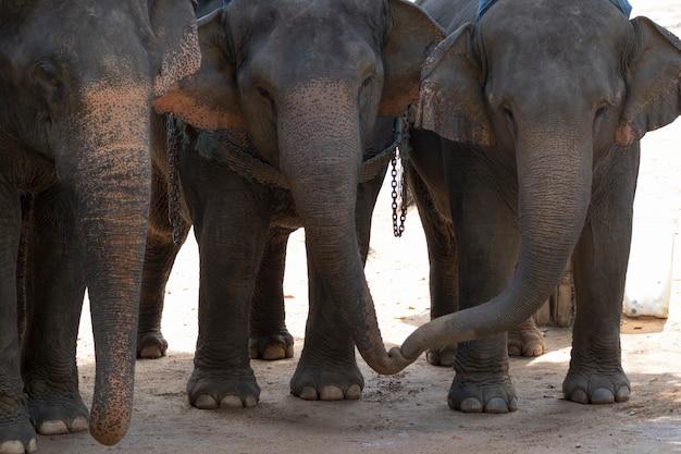 Słoń Stoi Na Ziemi. W Tajlandii. Premium Zdjęcia