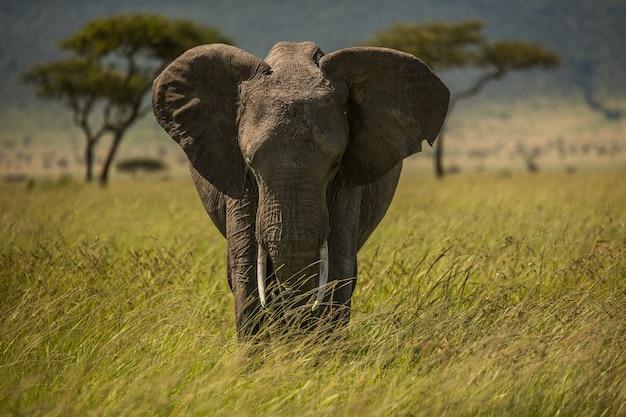 Słoń W Afryce Spacerując Po Trawie W Parku Narodowym Tarangire Premium Zdjęcia