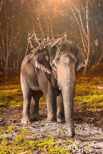 Słoń W Tajlandii Premium Zdjęcia