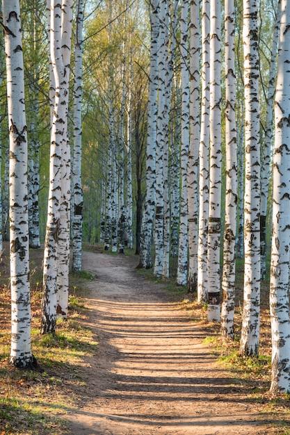 Słoneczna droga w parku brzozowym Premium Zdjęcia