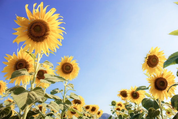 Słonecznik W Polu Z światłem Słonecznym. Premium Zdjęcia