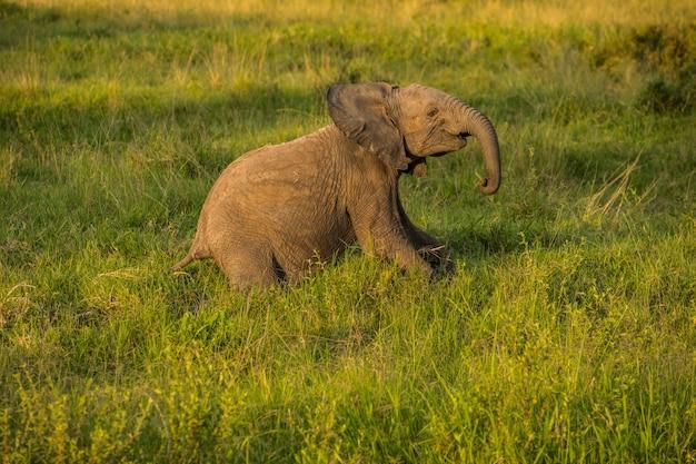 Słoniątka W Afryce Spacerując Po Trawie W Parku Narodowym Tarangire Premium Zdjęcia