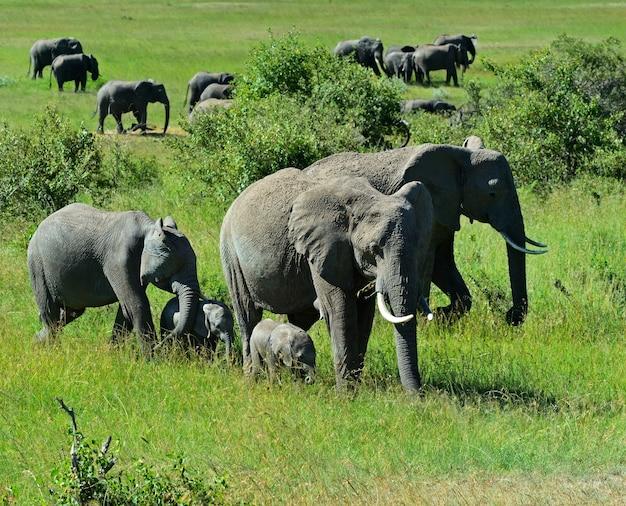 Słonie Afrykańskie W Ich Naturalnym środowisku. Kenia. Afryka. Premium Zdjęcia