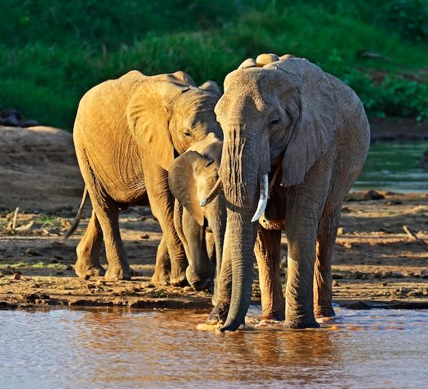 Słonie Afrykańskie W Ich Naturalnym środowisku. Kenia Premium Zdjęcia