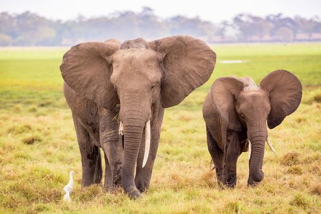 Słonie Afrykańskie W Parku Narodowym Amboseli Premium Zdjęcia