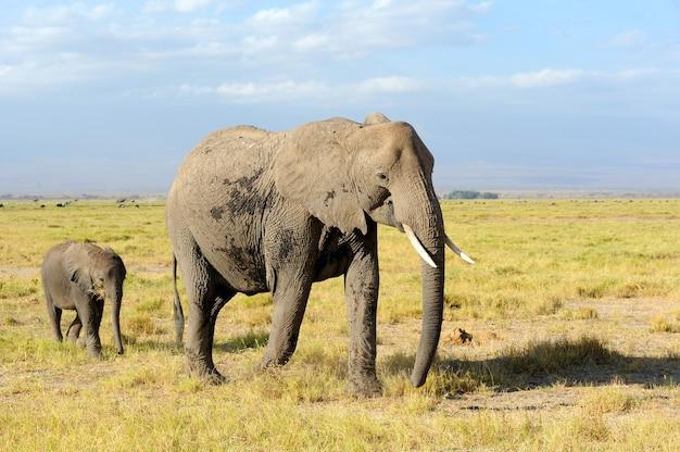 Słonie Na Sawannie Darmowe Zdjęcia