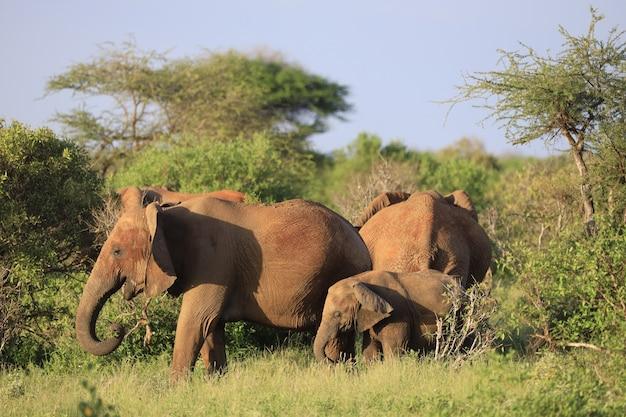 Słonie Stojące Obok Siebie Na Zielonym Polu W Kenii, W Afryce Darmowe Zdjęcia