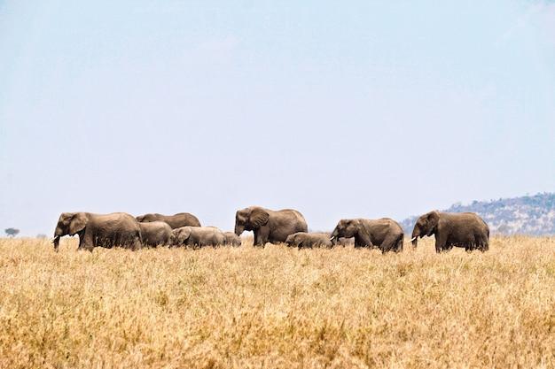 Słonie W Serengeti National Park, Tanzania Premium Zdjęcia