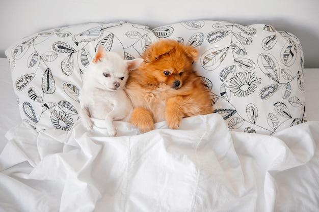 Śmieszne szczenięta leżące razem na poduszce pod kocem. Premium Zdjęcia