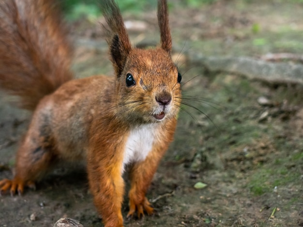 Śmieszne Zbliżenie Wiewiórka. Premium Zdjęcia