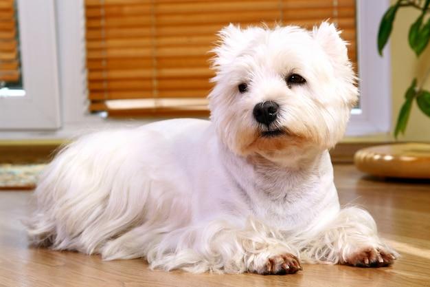 Śmieszny Biały Pies W Domu Darmowe Zdjęcia