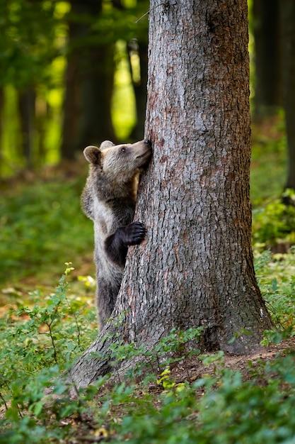 Śmieszny Brown Niedźwiedź Chuje Za Dużym Drzewem W Lesie W Wiośnie. Premium Zdjęcia