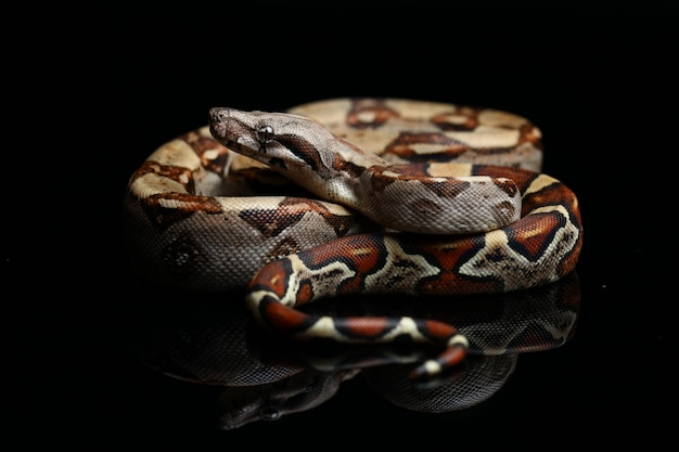 Snake Common Boa Boa Dusiciel Na Czarnym Stole Premium Zdjęcia