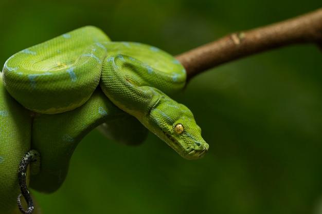 Snake Python Zielone Drzewo Na Gałęzi Drzewa Premium Zdjęcia