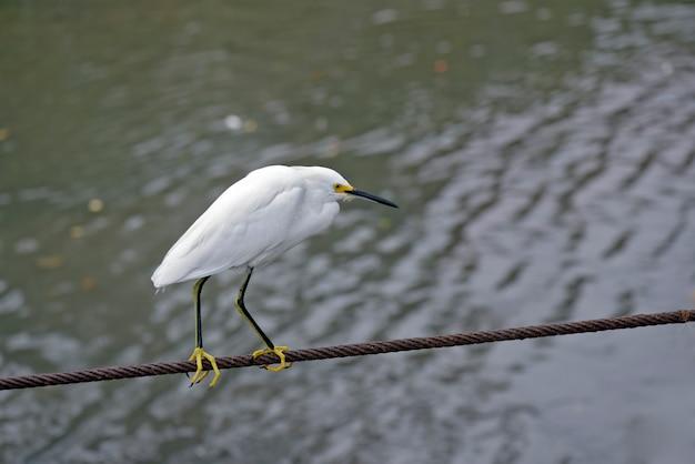 Śnieżny egret w stalowym kablu nad rzeką Premium Zdjęcia