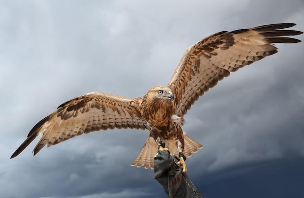 Sokół ma rozpostarte skrzydła. Premium Zdjęcia