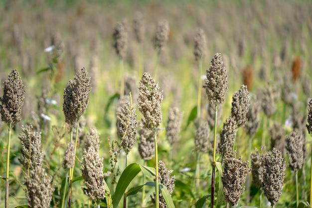 Sorgo Plantacje Na Gospodarstwie Rolnym W Tajlandia Premium Zdjęcia