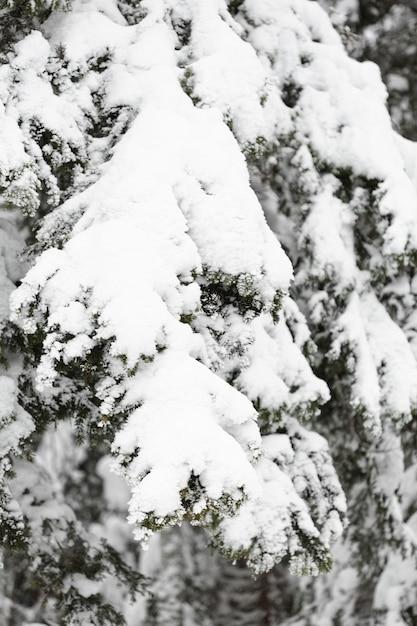 Sosna Oddziałów I Liści Pod śniegiem Darmowe Zdjęcia