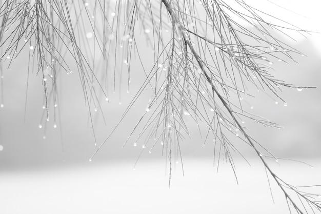 Sosna z kroplami wody w kolorze białym i zimnym. Premium Zdjęcia