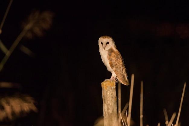 Sowa W Nocy Premium Zdjęcia
