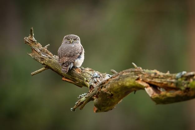 Sóweczka Zwyczajna Siedzi Na Starym Drzewie Premium Zdjęcia
