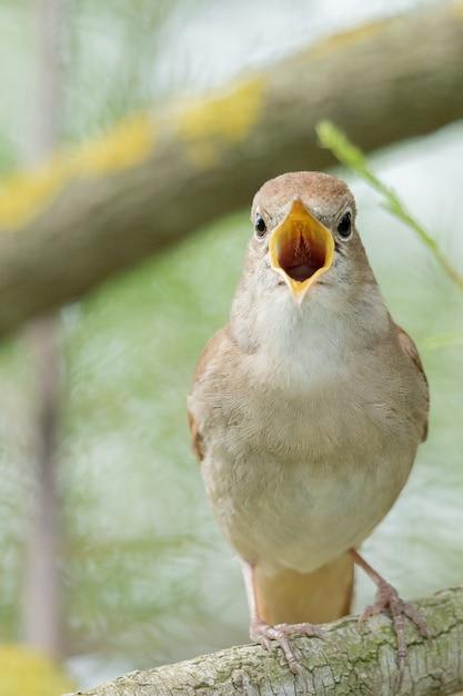 Śpiewający Słowik Na Gałęzi Darmowe Zdjęcia