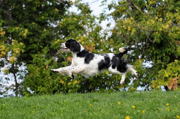 Springer spaniel pies Premium Zdjęcia