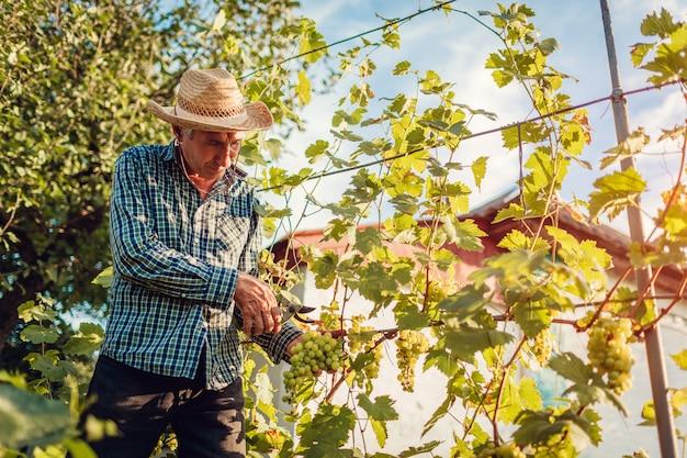 Średniorolna Zgromadzenie Uprawa Winogrona Na Ekologicznym Gospodarstwie Rolnym. Starszego Mężczyzna Tnący Winogrona Z Pruner Premium Zdjęcia