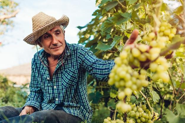 Średniorolna Zgromadzenie Uprawa Winogrona Na Ekologicznym Gospodarstwie Rolnym. Premium Zdjęcia