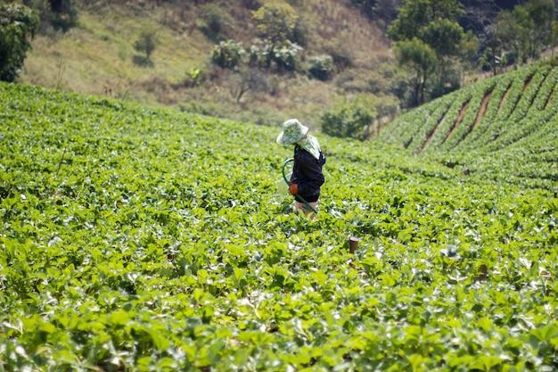 Średniorolny Działanie W Truskawce Uprawia Ziemię Przy Chiangmai Tajlandia Premium Zdjęcia