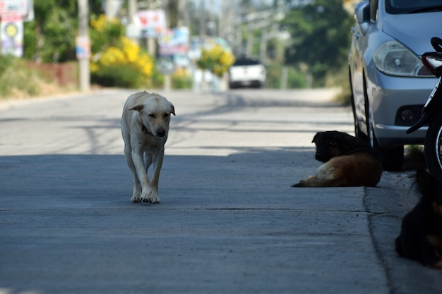 Stado Bezpańskich Psów. Niebezpieczne Psy Uliczne. Premium Zdjęcia