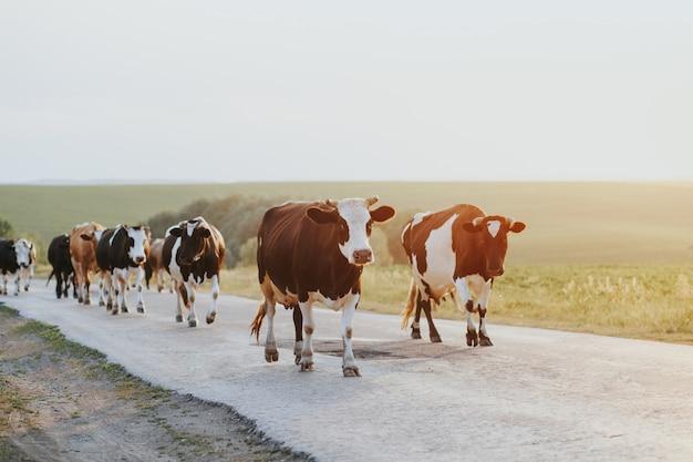 Stado Krów Podczas Odpoczynku W Oborze. Premium Zdjęcia