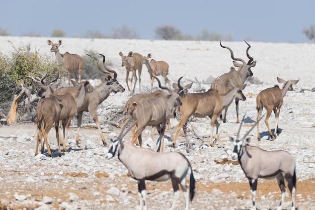 Stado kudu pije z wodopoju okaukuejo. wildlife safari w parku narodowym etosha. Premium Zdjęcia