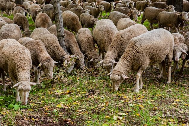 Stado Owiec Jedzących Trawę Premium Zdjęcia
