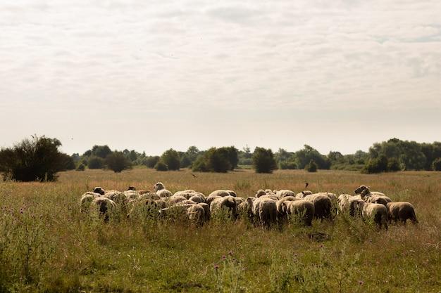 Stado owiec wypasanych na wsi Premium Zdjęcia