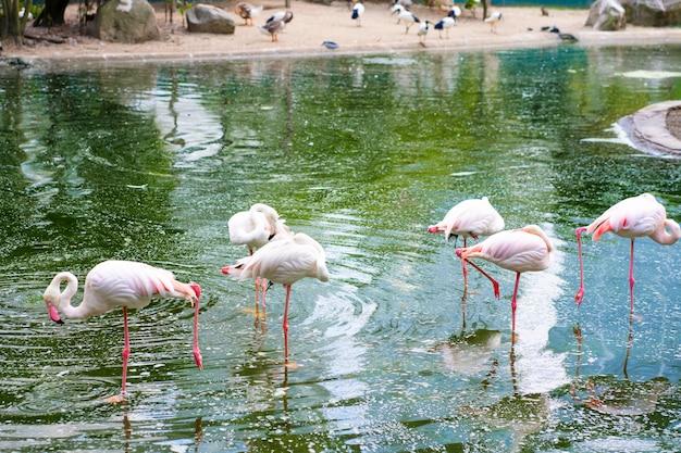 Stado Różowych Flamingów Stoi W Stawie. Obserwacja Ptaków Premium Zdjęcia