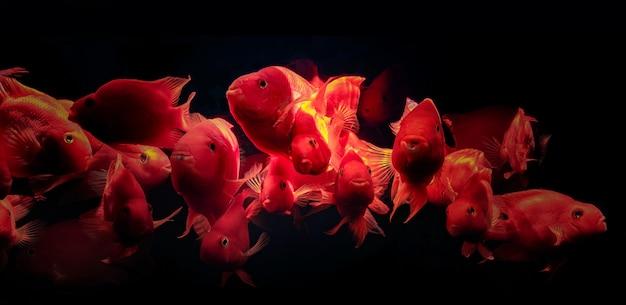 Stado Ryb Akwariowych Czerwona Papuga Premium Zdjęcia