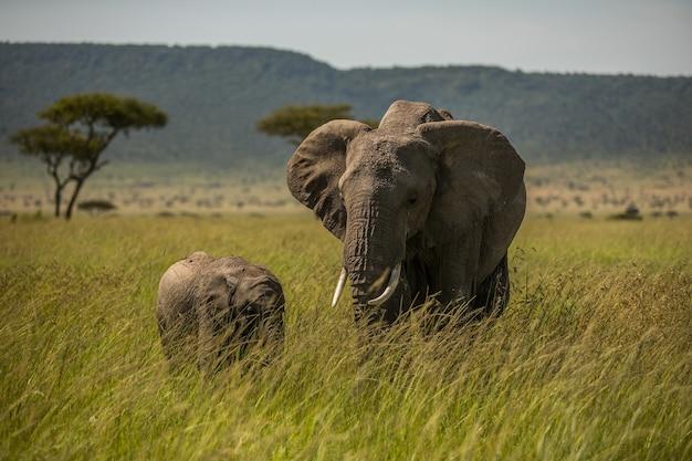 Stado Słoni W Afryce Spacerując Po Trawie W Parku Narodowym Tarangire Premium Zdjęcia